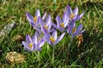 Crocus tommasinianus photo