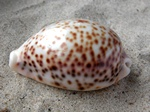 Cypraea pantherina photo