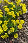 Draba hispanica photo