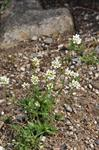 Draba lanceolata photo