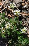 Draba loiseleurii photo