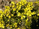 Draba paysonii photo