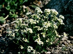 Draba ussuriensis photo