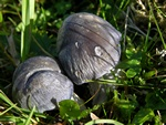 Entoloma bloxamii photo