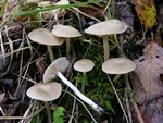 Entoloma sericatum photo