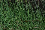 Ephedra fragilis photo
