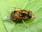 Eristalis horticola photo
