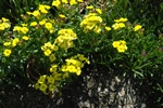 Erysimum humile photo