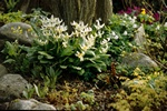 Erythronium revolutum (White Beauty) photo