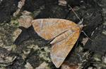 Eulithis testata photo