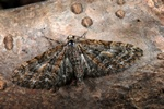 Eupithecia abbreviata photo