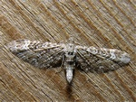 Eupithecia nanata photo
