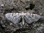 Eupithecia venosata photo
