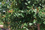 Ficus elastica photo