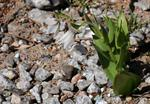 Fritillaria bucharica photo