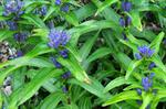 Gentiana siphonantha photo