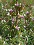 Gentianella campestris ss.p baltica photo