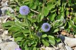 Globularia bisnagarica photo