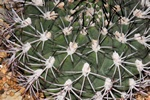 Gymnocalycium marsoneri photo