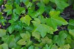 Hedera hibernicus photo