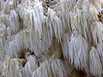 Hericium coralloides photo