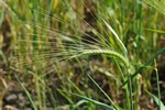 Hordeum vulgare var. distichon photo