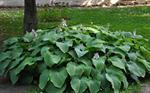 Hosta sieboldiana photo