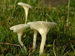 Hygrocybe virginea photo
