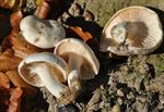 Hygrophorus penarius photo