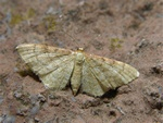 Idaea humiliata photo