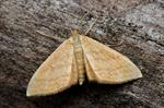 Idaea ochrata photo