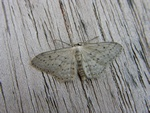 Idaea seriata photo
