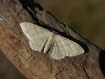 Idaea straminata photo