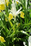 Iris bucharica photo