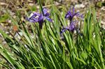Iris ruthenica photo