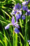 Iris versicolor photo