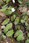 Jeffersonia diphylla photo