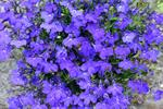 Lobelia erinus photo