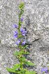 Lobelia syphilitica photo