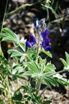 Lupinus micranthus photo