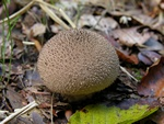 Lycoperdon nigrescens photo