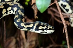Morelia spilota cheynei photo