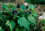 Nicandra physalodes photo