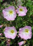 Oenothera speciosa photo