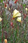 Oenothera stricta photo