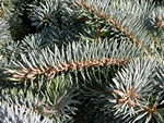 Picea pungens photo