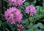 Rhododendron (English Roseum) photo