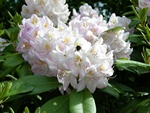 Rhododendron (Gomer Watere) photo