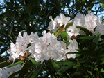 Rhododendron (Jacksonii) photo