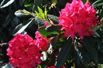 Rhododendron catawbiense (Nova Zembla) photo